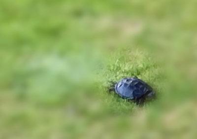 murt-the-turtle