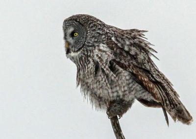 winter-owl